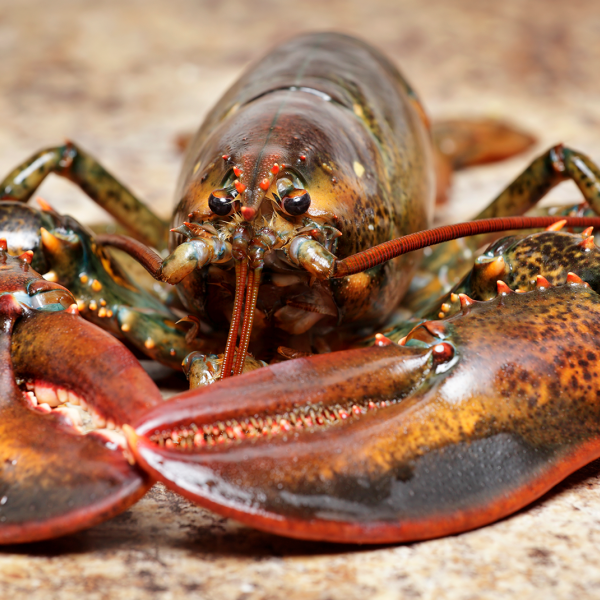 Warming pushes lobsters and other species to seek cooler homes