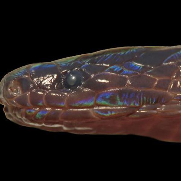 Rare Iridescent Snake Discovered in Vietnam