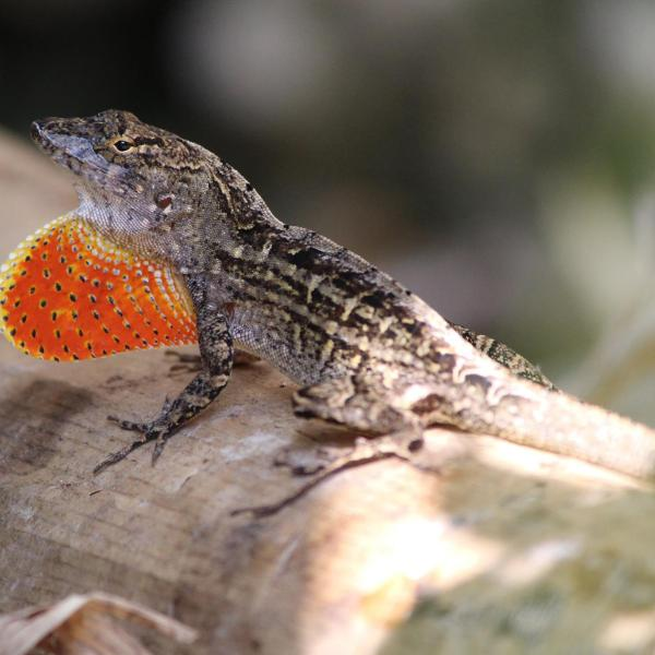 The new-new kids on the block: hybrid lizards