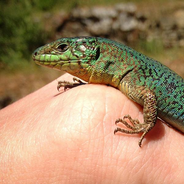 Lizards develop new 'love language'  Animal chemical signals shift after only four generations
