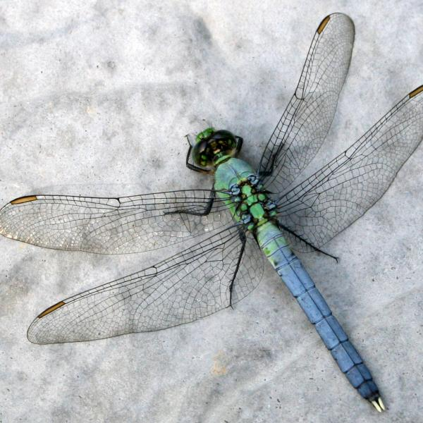 Human activity imperils one of the Earth's great survivalists: dragonflies