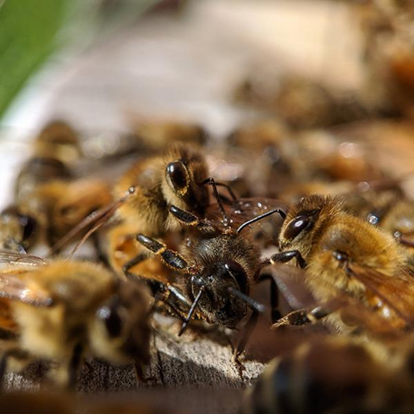 'Honey bee, it's me' Study: Gut bacteria is key to bee ID