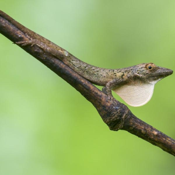 Islands are cauldrons of evolution: Study explores adaptation in island, mainland anoles