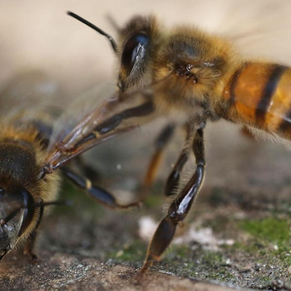 How 'undertaker' bees recognize dead comrades