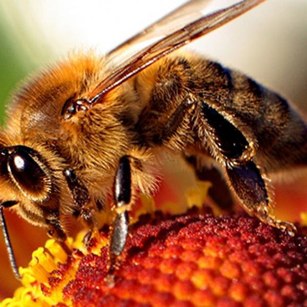 Beehives Are Held Together by Their Mutual Gut Microbes