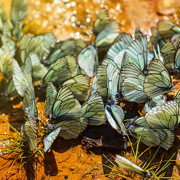A brief history of the cabbage butterfly's evolving tastes