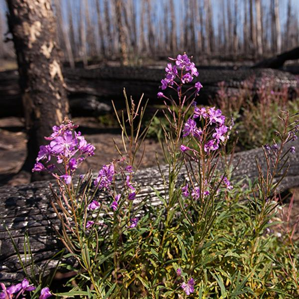In fire-prone West, plants need their pollinators — and vice versa