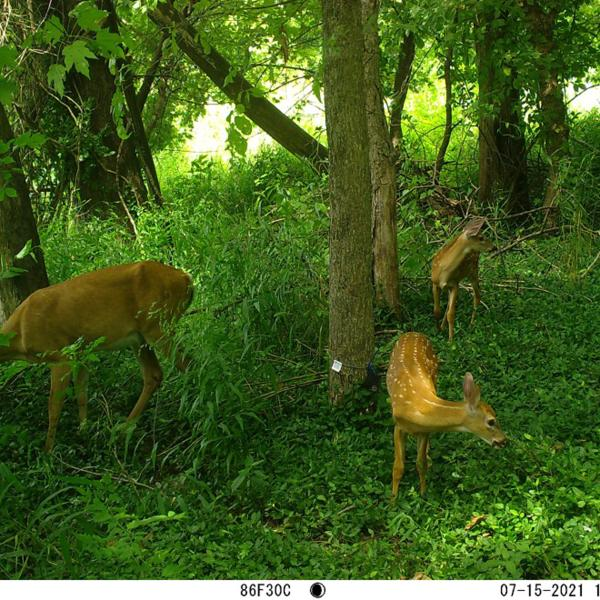 Why do affluent St. Louis areas host more wildlife? Blame the 'luxury effect'