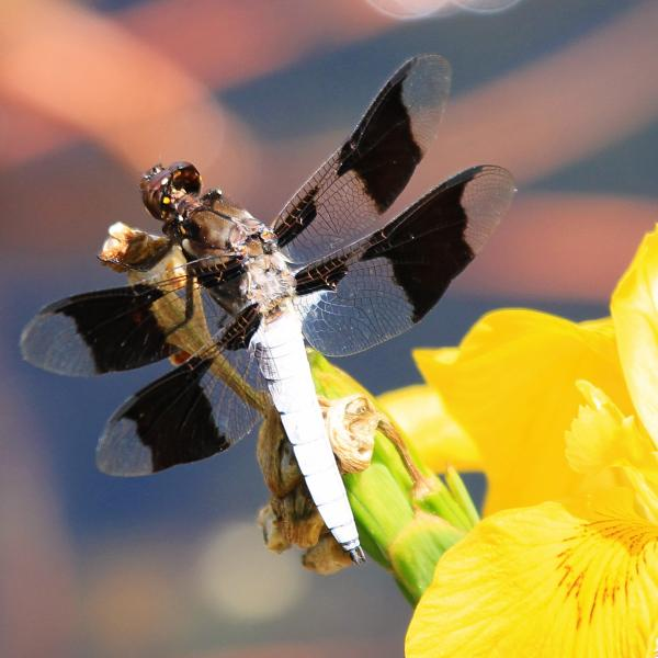 Dragonflies are losing their wing color because of climate change, study shows