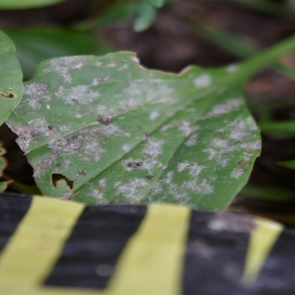 Local plant disease research during global pandemic